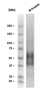 SDS-PAGE of M Protein