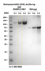 SDS-PAGE of Biotinylated hACE2