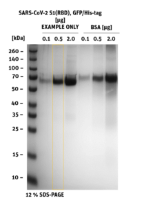 SDS-PAGE of SARS-CoV-2 Spike S1 RBD GFP-His-Tag