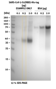 SDS-PAGE of SARS-CoV-2 Spike-S1 (RBD) Protein