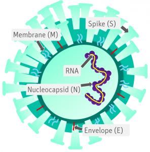 Protein structure of new Coronavirus (SARS-CoV-2)