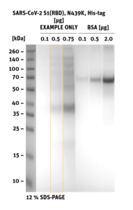 SDS-PAGE of SARS-CoV-2 S1 RBD Mutant N439K