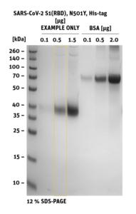 SDS-PAGE of SARS-CoV-2 S1 RBD Mutant N501Y
