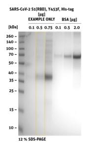 SDS-PAGE of SARS-CoV-2 S1 RBD Mutant Y453F