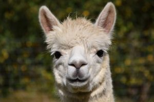 Alpacas used in SARS-CoV2-research